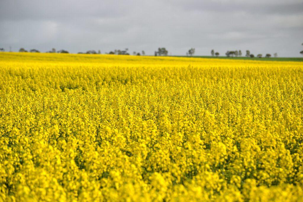 Canola Field near Okotoks, close proximity for a Calgary day trip