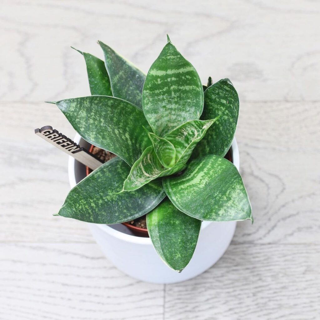Griffin the Plantsie Snake Plant is happy, healthy and can be delivered right to your door anywhere in Alberta!