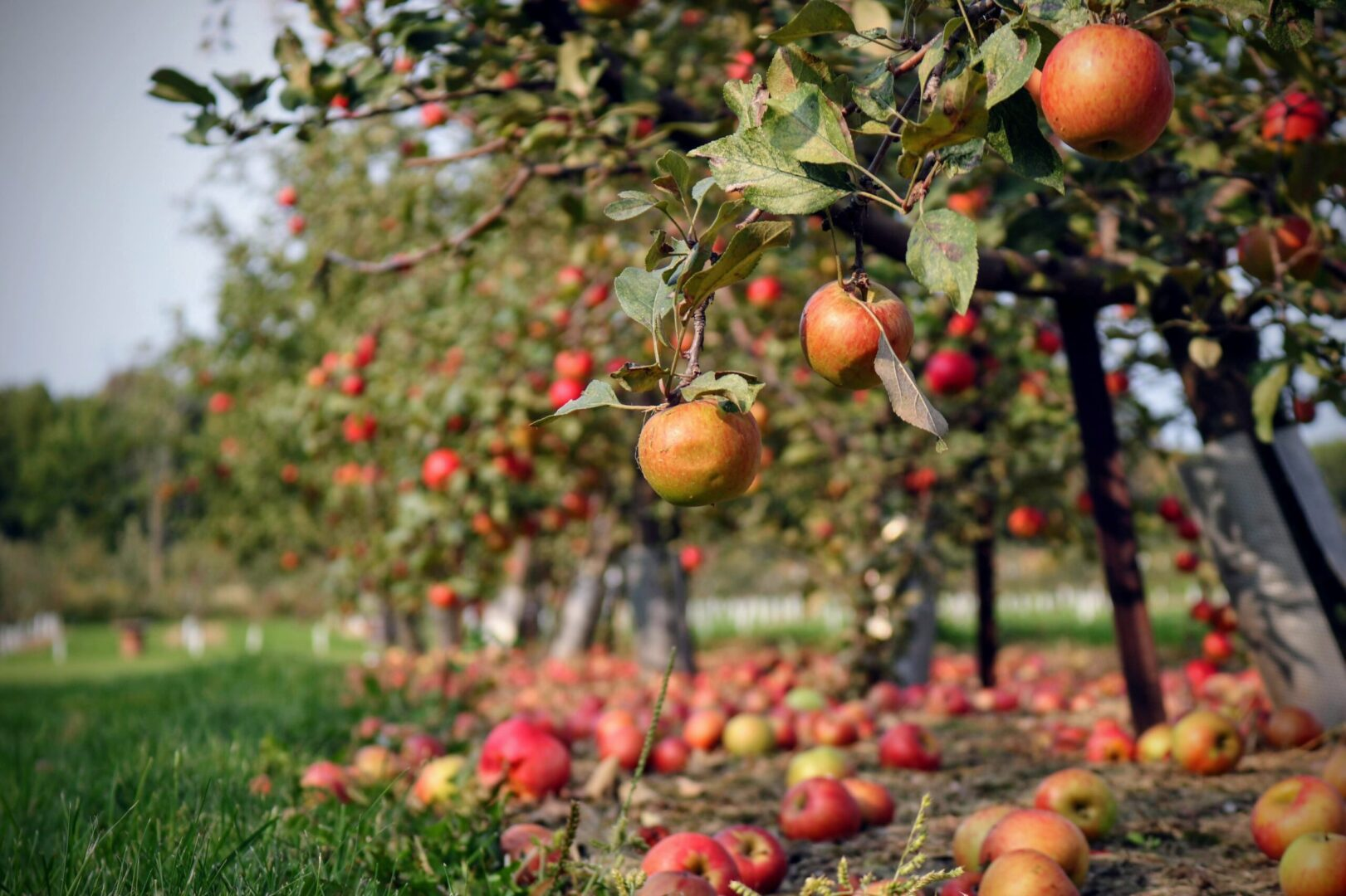 Apple orchard during the fall season. Many apples have naturally fallen to the ground.