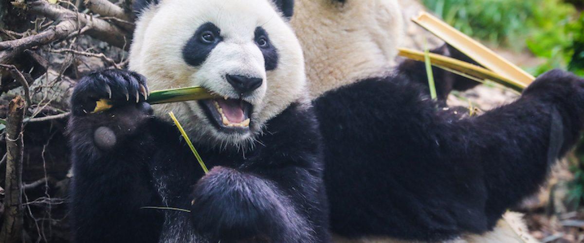 Pandas at the Calgary Zoo. Photo Credit: Sergei Belski